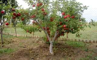 Как привить карликовую яблоню