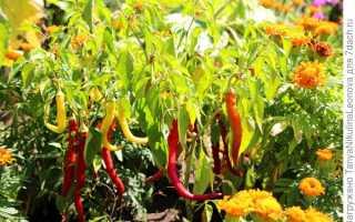 Как посадить острый перчик