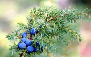 Как посадить можжевельник осенью пошаговое руководство