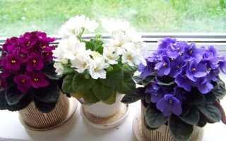 Как подкормить фиалки для цветения