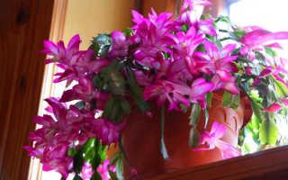 Как посадить цветок декабрист отростком