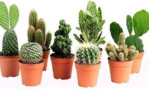 Как посадить маленький кактус