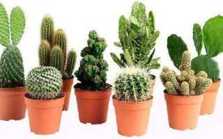 Как посадить кактус в горшок без корней