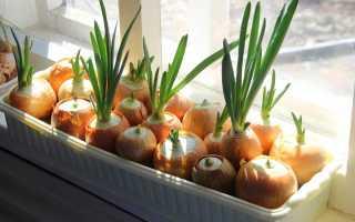 Как растет лук на подоконнике