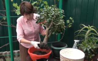 Как рассадить денежное дерево фото