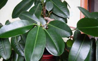 Как размножается фикус каучуконосный в домашних условиях