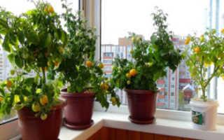 Как правильно выращивать помидоры на балконе