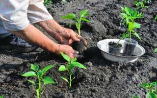 Как посадить рассаду перцев в открытый грунт