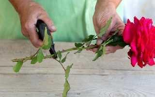 Как прорастить черенок розы в воде