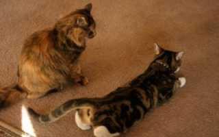 Как происходит спаривание котов