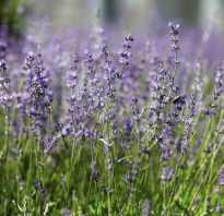 Как прорастить лаванду из семян