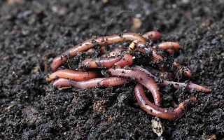 Как разводить червей зимой