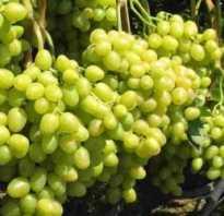 Как правильно обрезать зеленый виноград