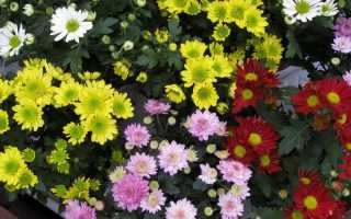 Как размножить хризантему семенами