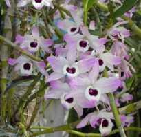 Как пересадить орхидею дендробиум видео