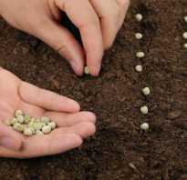 Как посадить семена гороха