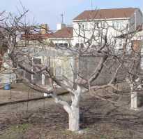 Как обновить яблоню осенью