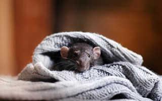 Как поставить капкан на крысу