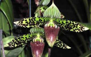 Как посадить корень орхидеи из вьетнама