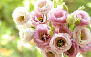 Как продлить цветение эустомы