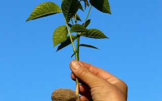 Как правильно посадить орех грецкий из ореха