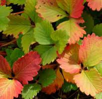 Как полоть клубнику осенью