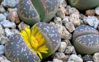 Как посадить литопсы из семян