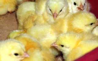 Как растить бройлерных цыплят