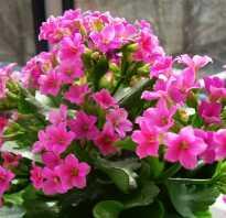Как пересаживать цветущий каланхоэ