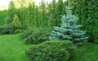 Как посадить саженец голубой ели осенью