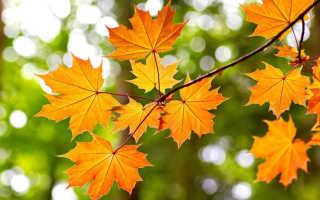 Как правильно посадить клен осенью