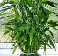 Как размножить бамбук лаки
