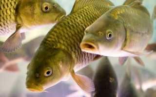 Как развести рыбу в домашнем пруду