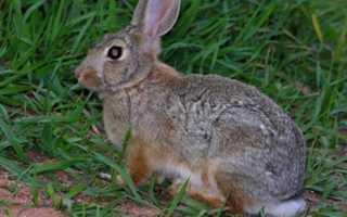 Как разделывать кролика инструкция
