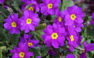 Как рассадить примулу садовую