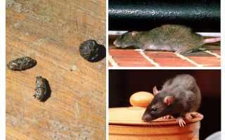 Как прогнать крыс из квартиры