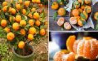 Как посадить семена мандарина