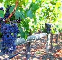 Как оформить виноградник фото