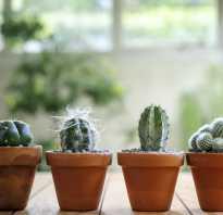 Как пересадить кактус фото