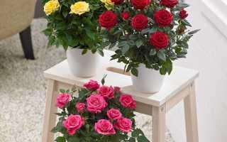 Как растить комнатную розу