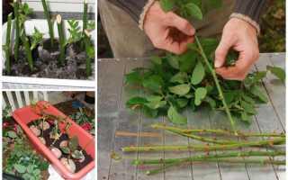 Как правильно посадить розы осенью черенками