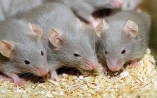 Как потравить мышей в домашних условиях