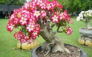 Как посадить адениум из семян