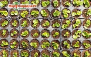 Как посадить бегонию семенами дома