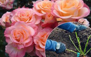 Как посадить розу в открытый грунт