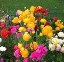 Как посадить лютик садовый