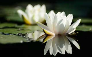 Как посадить нимфею в пруд