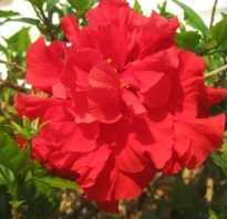 Как размножить китайскую розу черенками