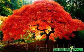 Как посадить красный клен из семян