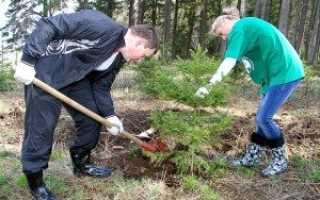 Как правильно выкапывать елку